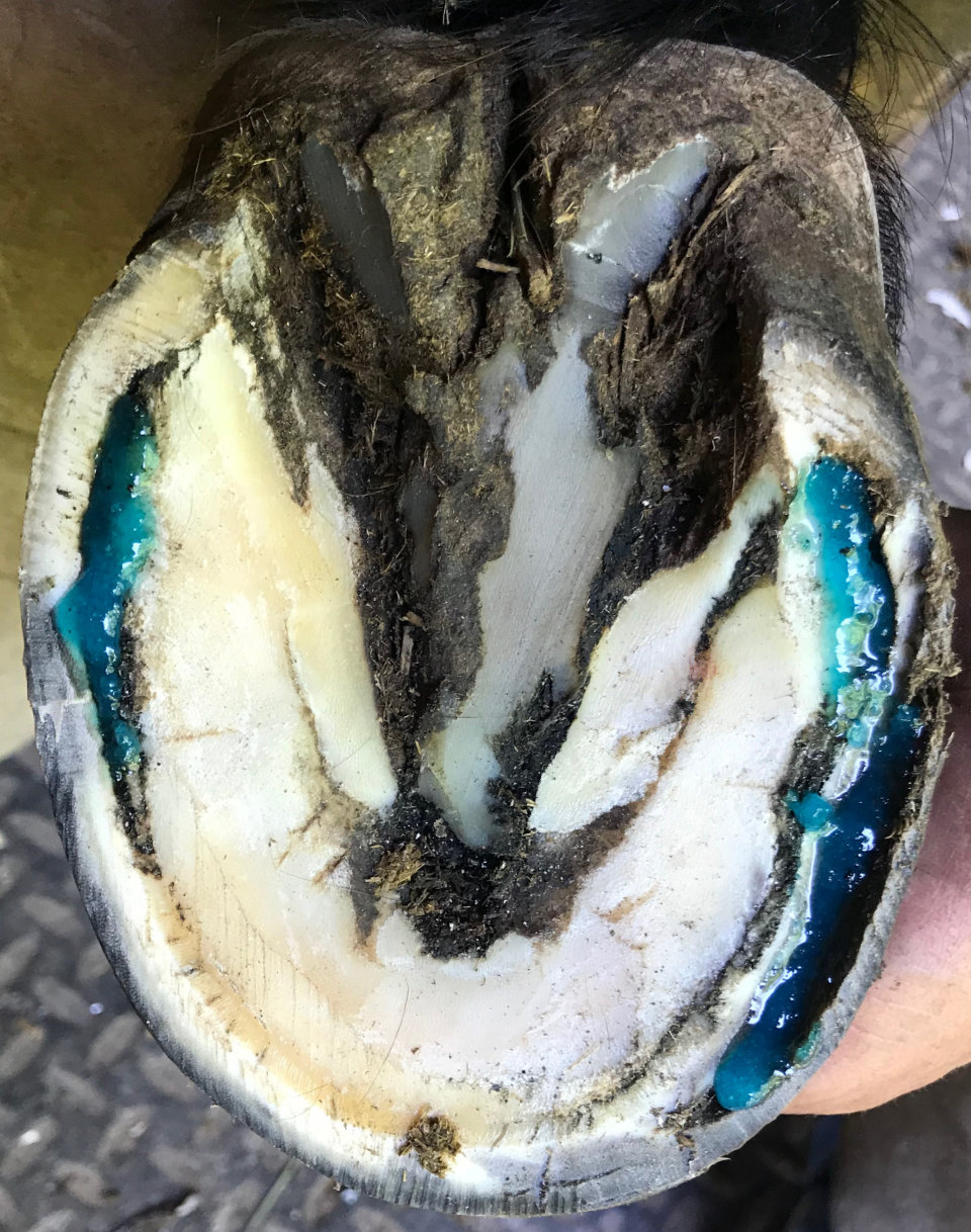 Hoof After Applying B Gone White Line Treatment